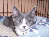 Domestic Short Hair - Gray and white - Bam Bam - Small