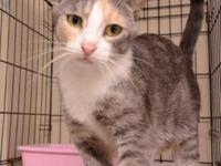 Domestic Short Hair - Gray and white - Beth - Small -