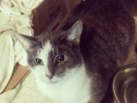 Domestic Short Hair - Gray and white - Bongo - Small -