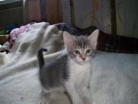 Domestic Short Hair - Gray and white - Boy Kitten -
