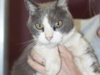 Domestic Short Hair - Gray and white - Brewster - Large