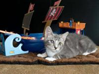 Domestic Short Hair - Gray and white - Captain Jack -