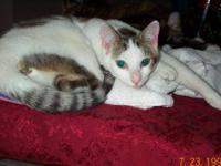 Domestic Short Hair - Gray and white - Casey - Medium -
