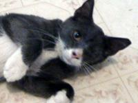 Domestic Short Hair - Gray and white - Christian -