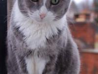 Domestic Short Hair - Gray and white - Clover - Medium