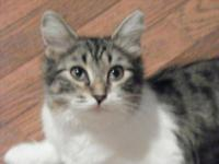 Domestic Short Hair - Gray and white - Dottie - Small -