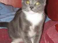 Domestic Short Hair - Gray and white - Dusty - Medium -