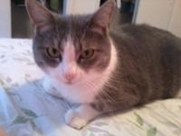 Domestic Short Hair - Gray and white - Eden - Small -