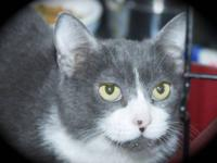 Domestic Short Hair - Gray and white - Fiona - Medium -