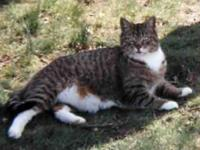 Domestic Short Hair - Gray and white - Grace - Large -