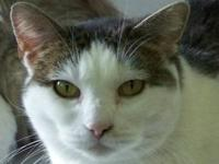 Domestic Short Hair - Gray and white - Gracie - Large -