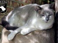 Domestic Short Hair - Gray and white - Harry - Small -
