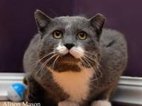Domestic Short Hair - Gray and white - Hercules - Large