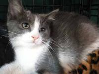 Domestic Short Hair - Gray and white - Honey Bee -