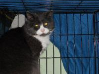 Domestic Short Hair - Gray and white - Jennings -