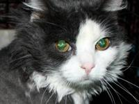 Domestic Short Hair - Gray and white - Joey - Medium -