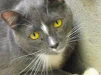 Domestic Short Hair - Gray and white - Julio - Medium -