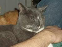 Domestic Short Hair - Gray and white - Kevin - Large -
