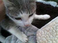 Domestic Short Hair - Gray and white - Kimberly -
