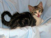 Domestic Short Hair - Gray and white - Kittens 2 -