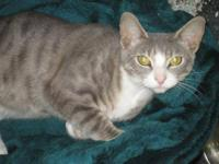 Domestic Short Hair - Gray and white - Layla - Medium -
