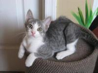 Domestic Short Hair - Gray and white - Little Kid -