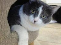 Domestic Short Hair - Gray and white - Lloyd - Medium -