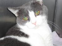 Domestic Short Hair - Gray and white - Logan - Small -