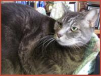 Domestic Short Hair - Gray and white - Lynnie - Small -
