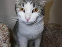 Domestic Short Hair - Gray and white - Martha - Medium