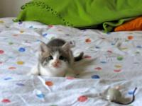 Domestic Short Hair - Gray and white - May - Medium -