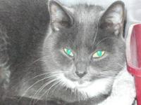 Domestic Short Hair - Gray and white - Megan - Small -