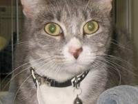 Domestic Short Hair - Gray and white - Millie - Small -