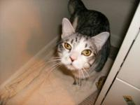 Domestic Short Hair - Gray and white - Misty - Large -