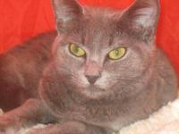 Domestic Short Hair - Gray and white - Misty - Small -