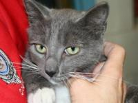 Domestic Short Hair - Gray and white - Mittens - Medium