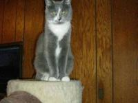 Domestic Short Hair - Gray and white - Momma Kitty -