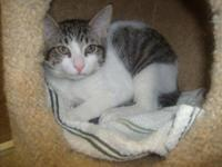Domestic Short Hair - Gray and white - Mork - Small -