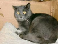 Domestic Short Hair - Gray and white - Mr. Kitty -