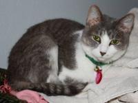 Domestic Short Hair - Gray and white - Munky - Small -