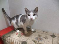 Domestic Short Hair - Gray and white - Noah - Medium -