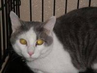 Domestic Short Hair - Gray and white - O.c. - Large -