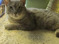 Domestic Short Hair - Gray and white - Olivia - Small -