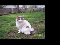 Domestic Short Hair - Gray and white - Otis - Medium -