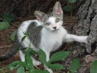Domestic Short Hair - Gray and white - Paris - Large -