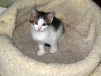Domestic Short Hair - Gray and white - Piper - Medium -