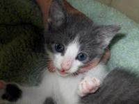 Domestic Short Hair - Gray and white - River - Medium -