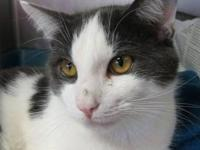 Domestic Short Hair - Gray and white - Romeo - Medium -