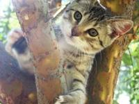 Domestic Short Hair - Gray and white - Sammie - Small -