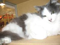 Domestic Short Hair - Gray and white - Schubert -